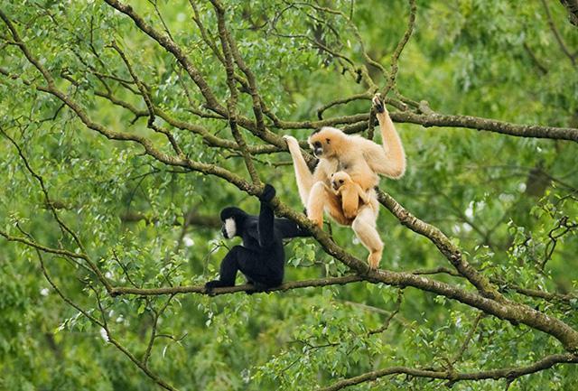 白颊长臂猿-云南野生动物园官网