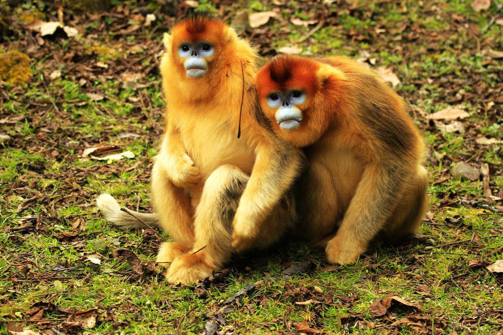 """金丝猴属于我国一级保护动物,也是我国特有的动物,堪与""""国宝""""大熊猫相媲美,是世界级珍稀物种。主要分为三个种类:川金丝猴、滇金丝猴和黔金丝猴。 川金丝猴主要分布在四川、陕西及甘肃等地区。因成年雄猴背覆长达30-40公分的金色被毛,在阳光的照射下宛如万缕金丝,异常美丽,被人们称之为""""金丝猴""""它们面孔呈蓝色,鼻孔上仰,所以也叫""""蓝面猴""""、""""仰鼻猴""""。 金丝猴可能是世界上最有人性化的猴类。它们的人性化主要表现在母猴对幼"""