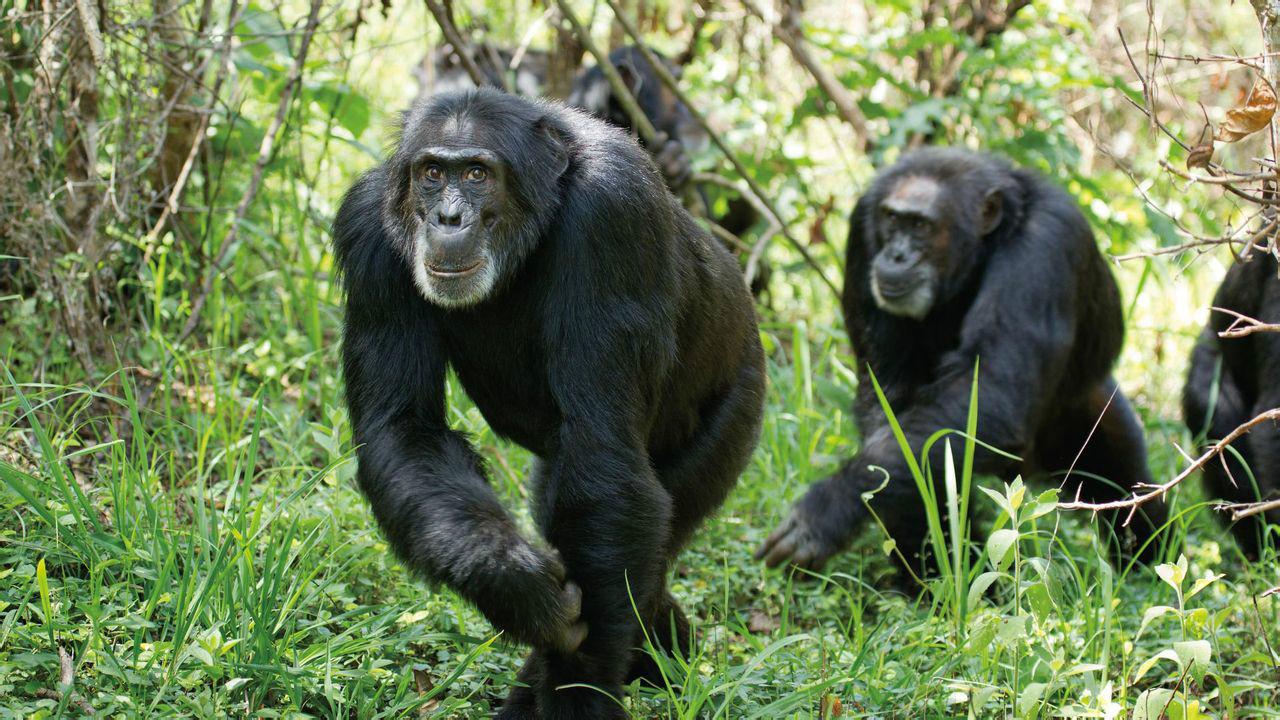 黑猩猩-云南野生动物园官网