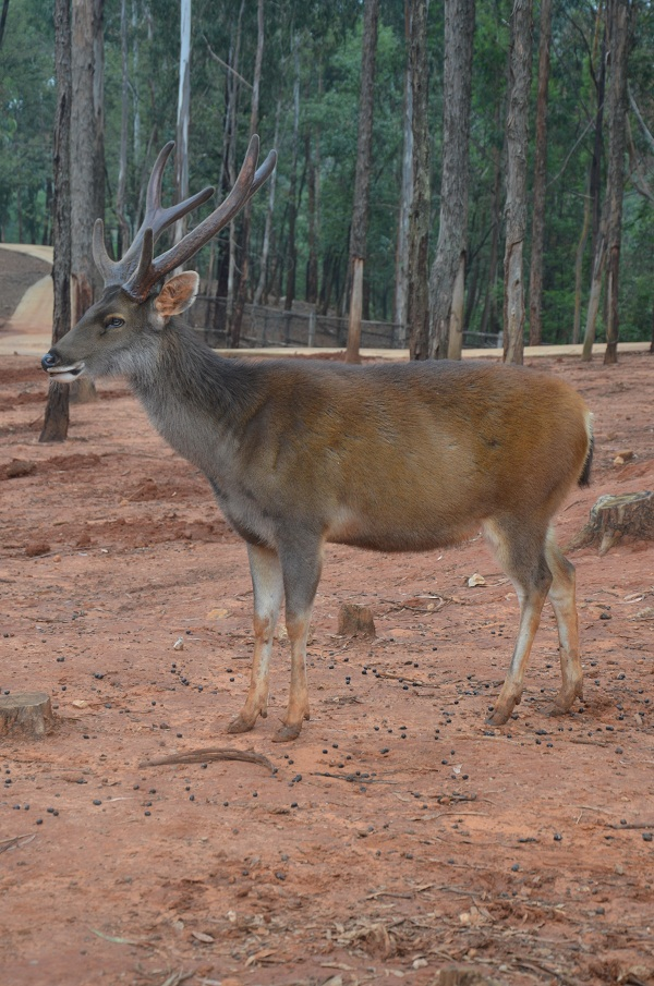 水鹿-云南野生动物园官网