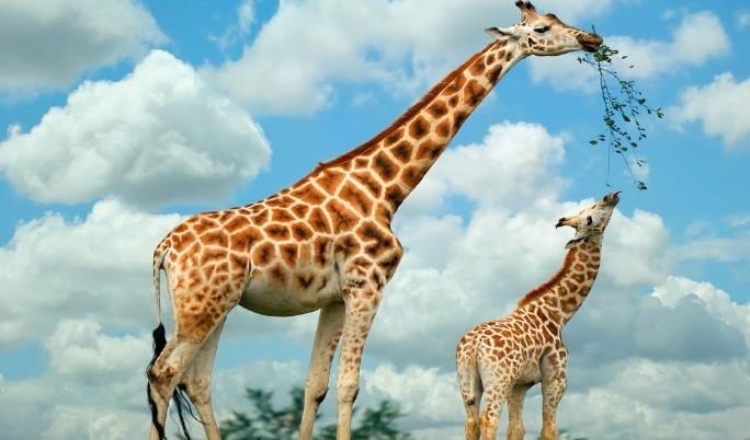 """大家是否知道动物界中谁是世界第一高?你猜对了,那就是有""""动物界美男子""""之称的长颈鹿。它们分布在非洲撒哈拉沙漠的东部和南部,以及西非。是世界上最高的哺乳动物,最高可达6.09米。角很特殊,雌雄性头上均有两个软骨突起物,有些在前额两眼间这就是它的角。它们生性胆小,遇到敌害会以每小时50公里的速度逃避。由于它们身躯高大,视野非常开阔,视觉尤佳但不会发音被称为动物界中的""""哑巴""""。主要以合欢叶、竹叶、种子和果实为食,一般在清晨和黄昏觅食。不知各位有没有注意到,长颈鹿步"""