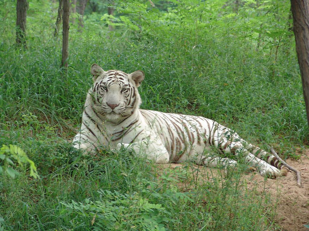 白虎-云南野生动物园官网