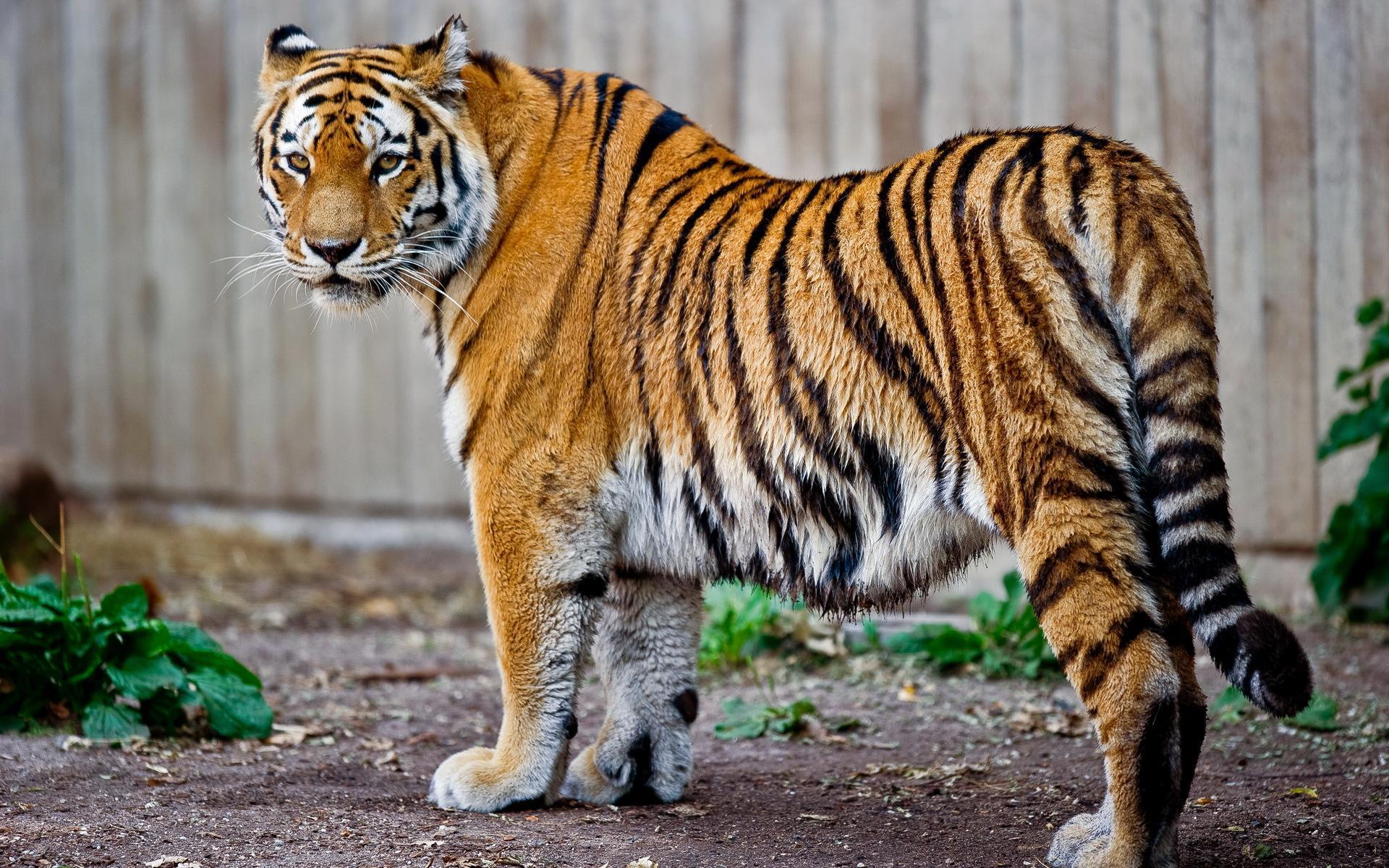 现在在我们面前的是孟加拉虎,主要产于印度、孟加拉、尼泊尔、缅甸、巴基斯坦及中国的西藏和云南。目前是世界上数量最多的一种虎,野生有3250—4700只左右。它的体形介于东北虎和华南虎之间。样子与其它虎基本相同,身上有黄黑相间的条纹。 孟加拉虎只要有隐身处、充足的水和食物,任何气候条件下都能生存。它在夜晚或黄昏时单独狩猎,但常常只有十分之一到二十分之一的成功机会。一旦猎物被杀死,尸体就会被其拖入浓密的林中,然后独自享用。为了生存,每八天必须进行一次捕杀活动。 孟加拉虎有高度的社群耐受力,最基本的社